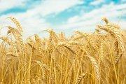 Куплю зерно пшеница 3,  4 класс, фураж,  ячмень фураж