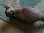 Сиамский котёнок найден