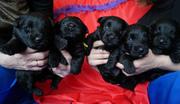 Замечательные щенки скотч-терьера